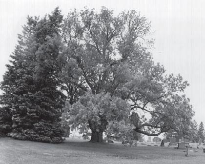 Big Tree in Cemetery